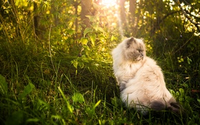 Picture cat, grass, nature, fluffy, Persian cat