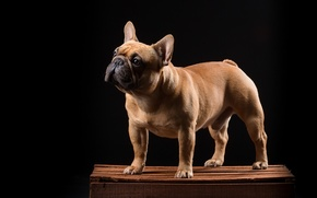 Picture dog, box, French bulldog