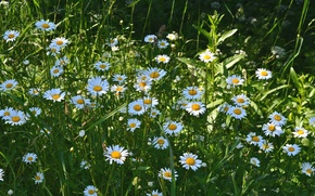 Picture summer, chamomile, meadow