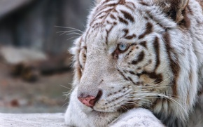 Picture cat, face, profile, white tiger