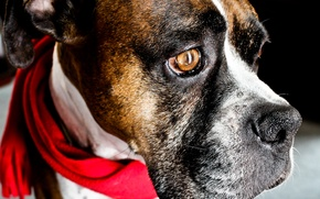 Picture eyes, head, boxer