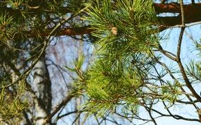 Picture greens, the sun, macro, needle, bump, pine
