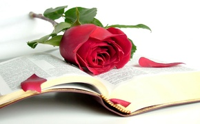 Picture rose, beauty, book, the Bible, open book, wisdom
