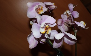 Picture flower, Orchid, an Orchid branch