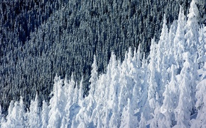 Picture winter, forest, snow, spruce, slope, Canada, British Columbia, Mountain Whistler