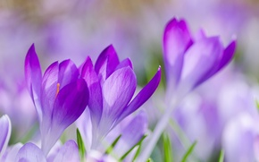 Picture grass, macro, flowers, focus, spring, petals, blur, purple, lilac, Crocuses