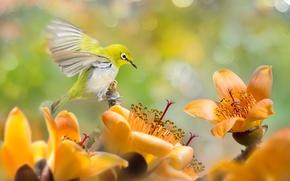 Picture flowers, tropics, bird, bokeh, white-eyed, white eye, white-eye, cotton tree, Sue Hsu