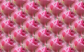 Picture Rosa, background, rose, texture, pink rose