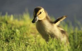 Picture duck, chick, bokeh, run
