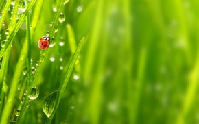 Picture macro, morning, morning, macro, nature, ladybug, the grass, the dew drops, ladybug, Rosa, grass, nature, ...