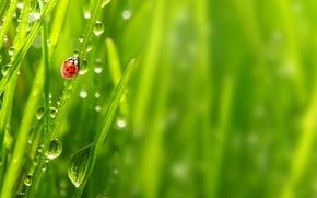 Picture grass, drops, macro, nature, Rosa, ladybug, morning, nature, macro, morning, ladybug, the grass, the dew ...