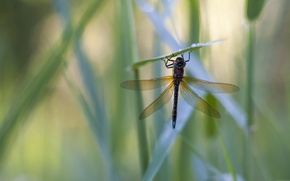 Picture grass, drops, Rosa, dragonfly, grass