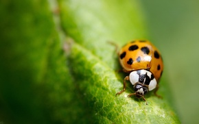 Picture greens, macro, sheet, ladybug, insect