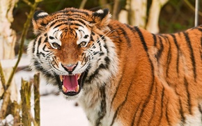 Picture mustache, look, face, tiger, fun, grin, Amur, amur tiger