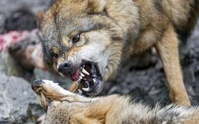 Picture face, wolf, pair, fangs, grin, ©Tambako The Jaguar
