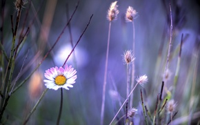 Picture flower, plants, Daisy, grass, pink and white