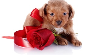 Picture face, rose, dog