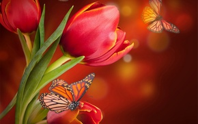 Picture butterfly, tulips, red, blossom, flowers, tulips, butterflies
