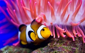 Picture sea, water, the ocean, stone, the bottom, diving, clown fish, actinium