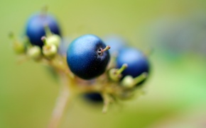Picture macro, plant, berry, the fruit