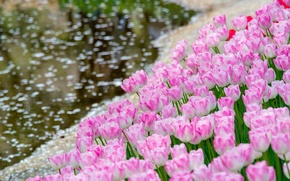 Picture water, tulips, buds