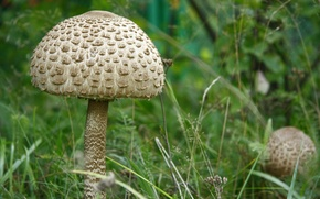 Picture macro, umbrella, nature, grass, mushrooms, plant, mushroom