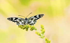 Picture flower, yellow, background, butterfly, plant, black and white