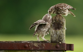 Picture owls, chick, feeding, owls