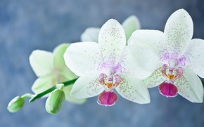 Picture flowers, orchids, flowers, orchids