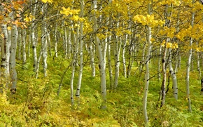 Picture autumn, trees, beauty, birch, grove