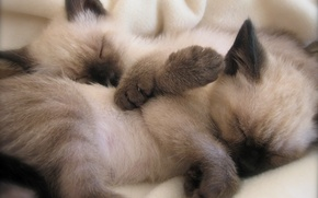 Picture cats, sleep, Siamese