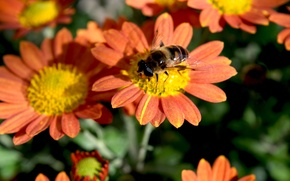 Picture autumn, flowers, insect, widescreen, chrysanthemum, orange petals