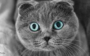 Wallpaper eyes, cat, pulls, Scottish fold