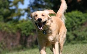Picture each, dog, runs, Retriever