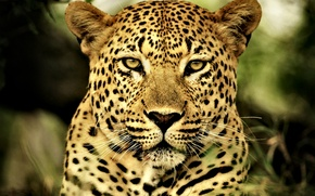 Wallpaper Leopard, cat, predator