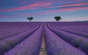 Picture field, summer, the sky, trees, lavender