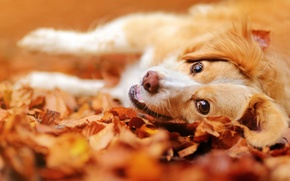 Picture autumn, look, face, leaves, mood, dog