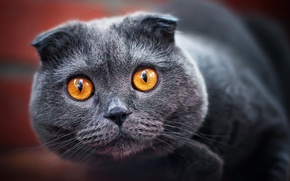 Picture cat, look, grey, fold, ash