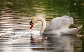 Picture greens, water, lake, glare, bird, Swan, pond, floats, bokeh