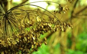 Picture macro, umbrella, plant, dill