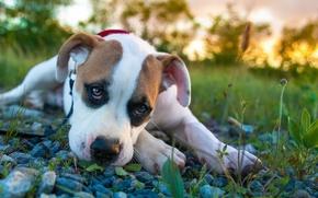 Picture Sad, grass, Dog, stones