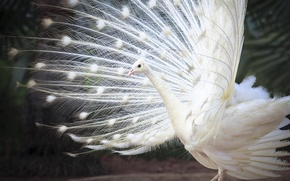 Wallpaper feathers, white Indian peacock, tail, bird