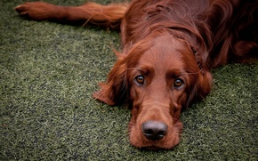 Picture each, dog, red setter