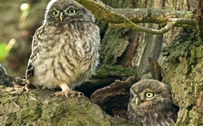 Picture tree, owls, the hollow, The little owl
