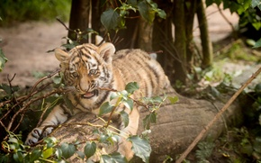 Picture cat, tiger, branch, log, cub, kitty, Amur