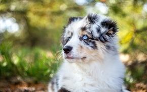 Picture dog, portrait, Aussie, puppy, Australian shepherd, face