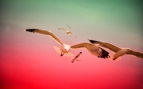 Picture the sky, flight, birds, color, Seagull