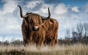 Picture field, grass, wool, horns, bull