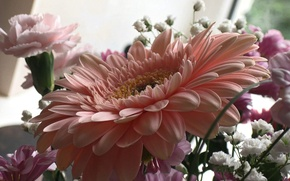 Picture pink, Flowers, gerbera