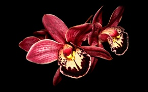 Picture flower, macro, black background, Orchid